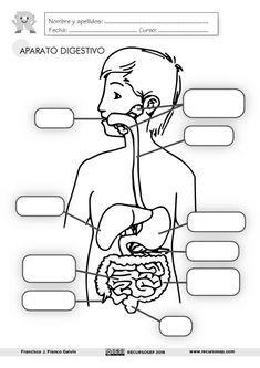 Infantil Y Primaria Lamina Aparato Digestivo Cuerpo Humano Para