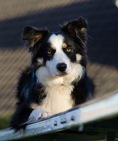 Les amateurs de chiens l'affirment depuis des années et la science le confirme depuis peu : les chiens sont plus intelligents qu'on ne le croit. Ils peuvent saisir nos indices, montrer le lien affectif qui les unit à leur maître, et même manifester de la jalousie...  Le cas le plus célèbre est un border collie appeléChaser