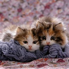 Persian Cross Calico Kittens Photo WP16485 | playconquest.