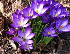 Der Frühling ist da. Die ersten Bienen sind unterwegs. / The spring is coming. The bees are on the road.