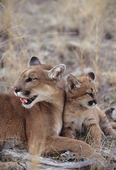 Mountain Lions  (copyright: Daniel J. Cox)