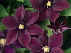 Klematis 'Warszawska Nike' får stora, 12-18 cm vida, djupt purpurvioletta, enkla blommor i juli-september. Blir ca 1,8-2,5 m hög och är härdig i zon 1-4.