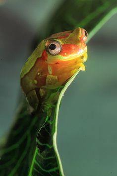Frog   Flickr - Photo Sharing!