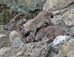 Baby Alpine Ibex goats at Salzburg zoo, Austria