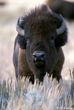 Bison, I just love their faces! have no idea why... :)
