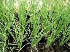 Como plantar cebolinha - 9 passos - umComo
