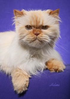 Flame point himalayan kittens for sale in ohio