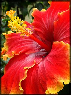 ✯ Hibiscus (Tanah Rata, Malaysia)