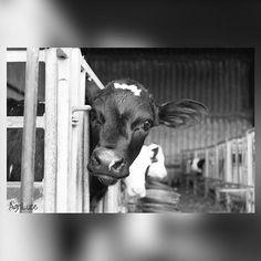 """Jana"" Lovely little calf 🐮 #calf #calfs #calves #cow #cows #dairy #farmer #farming #farmlife #farmland #farmersdaughter #farmanimals #farmyard #barn #shed #calfpens #cute #blackandwhite #monochrome #wayoflife #wales #canon #canon70D #photography #farm #agriculture Dairy Free Pizza, Dairy Free Pesto, Dairy Free Soup, Dairy Free Snacks, Dairy Free Breakfasts, Dairy Free Biscuits, Dairy Free Pancakes, Farm Photography, Animal Photography"
