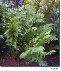 Largest fern of North America--giant chain fern (Woodwardia fimbriata)   Click on photo for more information about this plant!