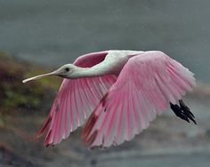 Roseate Spoonbill...it's a God thing Lukey