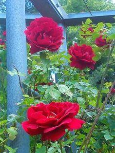 Popínavé růže (48 pieces)