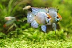 Powder Blue Ram. One of my favorite species. Delightful, pretty, little fish. <3