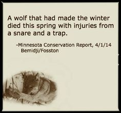 A Wolf That Had Made the Winter Died This Spring With Injuries Fro a Snare and a Trap--Howling For Wolves Photo How To Make Traps, Wolf Photos, Fitness Gifts, Animal Cruelty, Wolves, Conservation, Minnesota, This Or That Questions, Law