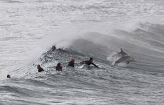 Surfistas 'dividem' onda com golfinhos em praia na Austrália                 Cena foi registrada em praia de Sydney.Imagem foi feita pelo fotógrafo Daniel Munoz.