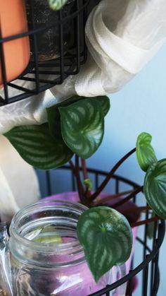 conseil jardinage débutant plante d'intérieur, urban jungle : peperomia watermelon | Mon petit balcon Calathea, Belle Plante, Decoration, Plant Leaves, Plants, Urban, Home, Replant, Balcony