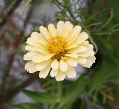 Dress It Down: Pale yellow zinnia #Weddings in #July or #August