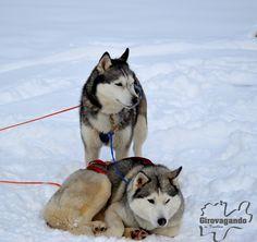 Due splendidi esemplari di Siberian Husky