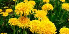Taraxacum Officinale, Healthy, Flowers, Plants, Blog, Medicine, Gardening, Beads, Life