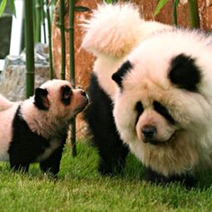 Chows dyed as pandas