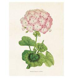 ST Vintage Flowers 'Poster Geranium 18 x 24 cm' Country Stil, Shabby Chic Kitchen Decor, Vintage Botanical Prints, Miniature Plants, Fruit Print, Art Clipart, Picture Collection, Geraniums, Vintage Flowers