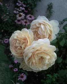 Beautiful cream/ ivory David Austin roses
