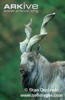 Photo of a male Tadjik markhor