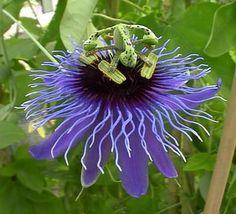 Fleurs et fruits de Passiflora foetida | passiflora amethystina ou passiflore améthyst ou fleurs de la passion ...