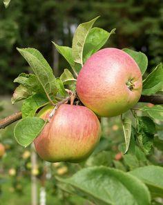 Malus domestica Särsö, Höstsort. Växt: starkväxande, stort träd.Skörd: tidig, riklig, oregelbunden. Frukt:  medelstor/stor, gröngul, rätt söt, fast. Som moget ljust med solsidan rosenröd och rödstrimmig. Smak: fast, lätt sötsyrlig. Hållbarhetstid: 4-6 veckor. Bild: Taimistoviljelijät