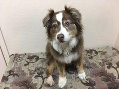 Lucy - Golden Retriever/Australian Shepherd Mix - Female - 12 yrs old - United Animal Friends - Prescott, AZ.