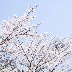 【koyamataiga】さんのInstagramをピンしています。 《bloom taiga-koyama.com ・ ・ ・ ・ ・ ・ ・ ・#tale#breath#blueplanet#time#mathernature#mathreearth#pray#love#loveyou#forever#photography#shimane#japan#trip#travel#outwalking#spring#start#cherryblossoms ・ ・ ・ ・ ・ ・ ・ ・ #桜#春#写真#真理#津和野#島根#日本#祈り#旅》