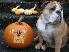 English Bulldog & Pumpkins