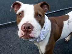 GONE 5/8/2015 --- Manhattan Center CHASE – A1034582 NEUTERED MALE, WHITE / BROWN, AM PIT BULL TER MIX, 1 yr OWNER SUR – EVALUATE, NO HOLD Reason PERS PROB Intake condition EXAM REQ Intake Date 04/28/2015