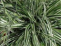 Carex oshimensis 'Everest' PBR