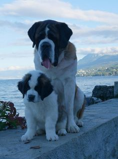 Papa Prinz et son bébé Funny Animal Photos, Dog Pictures, Cute Cats And Dogs, I Love Dogs, Baby Dogs, Dogs And Puppies, Doggies, Mountain Dog Breeds, St Bernard Puppy