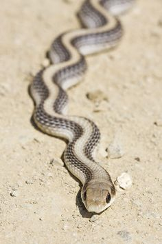 ˚Patch-nosed Snake, Salvadora hexalepis virgultea