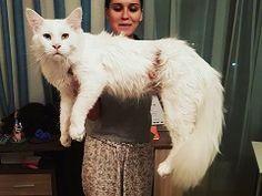 巨大生物感あふれるオッドアイの甘えん坊ネコちゃん モフみと成長が止まらない - ねとらぼ
