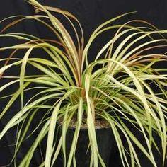 Corynocarpus Laevigatus 39 Alba Variegatus 39 New Zealand Laurel For Shade Like The Slight