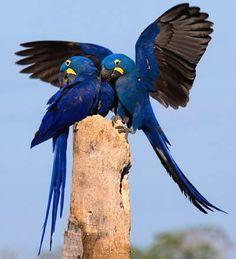 Arara Azul ou ararauna é mais encontrada no Pantanal .
