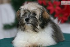 ... cute Havanese puppy for sale for $1,500. CH Sired Sable Parti Girl