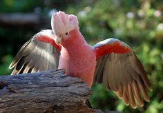 Absolutely gorgeous - A rose breasted Cockatoo - Definitely one of the most beautiful Parrots