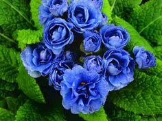 Blue Sapphire Primula/Primrose © 2013 Laverda ®- The flower symbol of the 45th Sapphire Jubilee Anniversary.