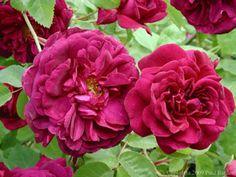 English Shrub Rose: Rosa 'Chianti' (U.K., 1965)