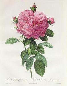 Rosa Gallica Flore Giganteo Print By Pierre Joseph Redoute