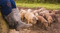 How to Raise Pigs to Slaughter | eHow