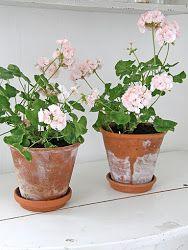 Love Geraniums