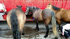 Curtiss, Rolo, and Quixote at Stock Show! Rolo's first Stock Show!! :D So proud of him! He was fantastic! :) (Precisionettes, Stock Show--January 2016)