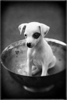 Sweet Lucy - Jack Russell Terrier pup