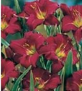 Daylily, Hemerocallis, flooms early summer until first frost, full sun to partial shade, clay-soil.  Golden-flowered Stella d'Oro long-blooming and tough choice.