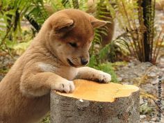 "Shiba Inu 柴犬 Daitan 大胆 (""Hiroshi"" 浩) by pjen, via Flickr"